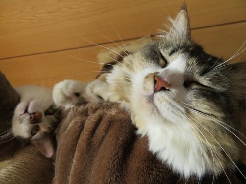 ふてぶてしいイズコちゃん、タワー袋で半分うとうと~寝ています♪2021.01.03