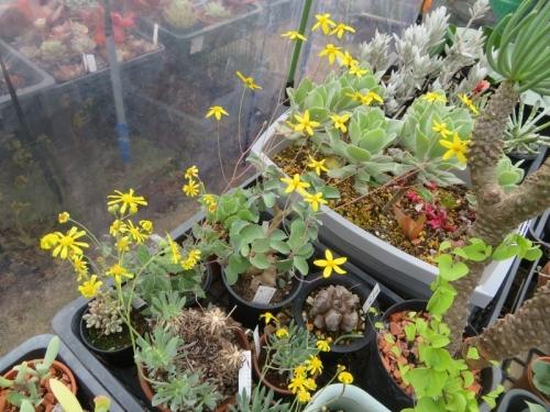 冬型塊(茎)根多肉植物オトンナいろいろ~トリブリネルビア、レトロルサ、パーフォリアータ、ヘレイ(2020.12.11)の様子、2021.01.04も咲き続けています。