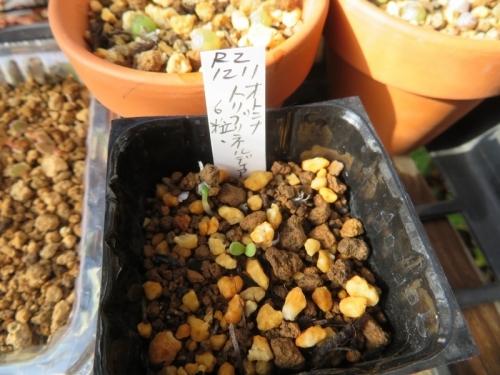 オトンナ・トリブリネルビアの種子を2020.12.11にまいていました。発芽しています♪2021.01.04