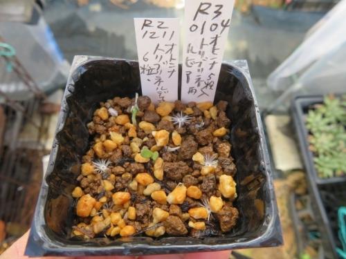 年明けて、オトンナ・ロリブリネルビアにまた種ができていたので、昨年2020.12.11実生苗(もう発芽がしている)同じ苗床に種まきしました。2021.01.04