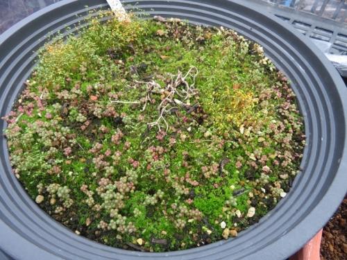 ピレア・グロボーサこぼれ種発芽苗がだいぶ大きく育っています。内径30cm浅鉢植え。2021.01.05