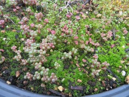 ピレア・グロボーサこぼれ種発芽苗が苔まみれの中、だいぶ大きく育っています。2021.01.05