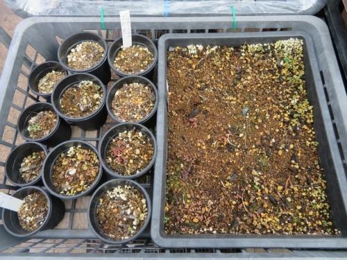 ピレア・グロボーサ(Pilea serpyllacea globosa)、挿し木苗は枯れてしまいましたが、後に少なからずこぼれ種発芽しています。2021.01.05