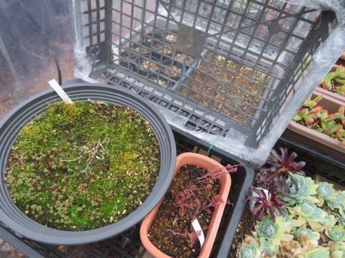 ピレア・グロボーサ(Pilea serpyllacea globosa)、元株と挿し木苗は枯れてしまいましたが、後に少なからずこぼれ種発芽しています。2021.01.05