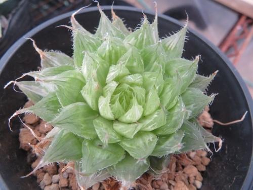 ハオルチア・ボルシー錦、じ~っくり見ると白い斑入りです。ほとんど植え替えずいると大きく育たないでいます。2021.01.06