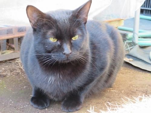 黒ちゃんかと思いきや!あらあら顎も足も黒いまっ黒猫ちゃんでした。2021.01.01