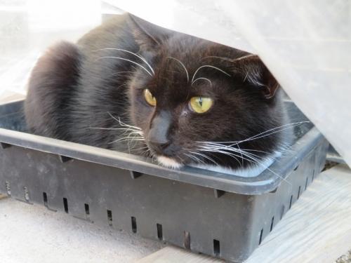 白靴下を履いた黒猫ちゃん、ハウスの育苗バットの中に隠れています。2021.01.06