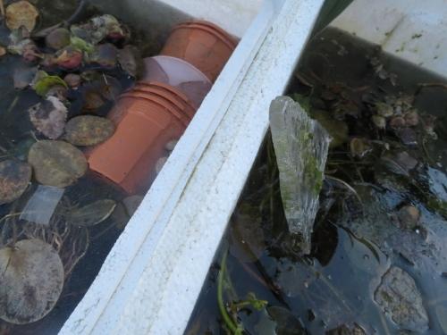 北側メダカ用水草だけの発泡スチロール水槽、もう大変午後になっても1cm厚氷が溶けていません!ビックリ2021.01.08