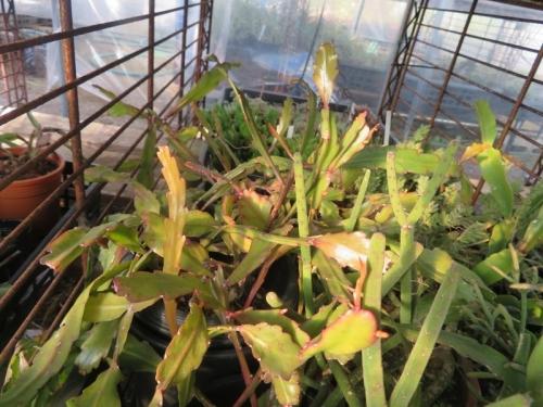 リプサリスいろいろ、窓の梅花芽がちょっと来ています。(薄い茎節)花台の下軒下効果で大丈夫♪2021.01.09