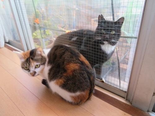 家猫、富士子ちゃんと外野良猫白靴下を履いた黒ちゃんサッシ窓越しに遊んでいます。2021.01.09