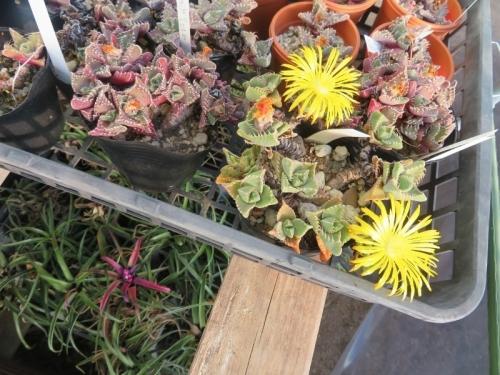 フォーカリアもまだ咲いています。凍らない花台下にはアナナスも開花しています。2021.01.10
