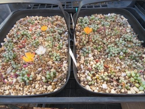フェネストラリア・ベビートゥ、2020.11.21、バラバラにして水はけ良く深植え替え挿し木しました。寒波も何のその、開花中♪2021.01.10