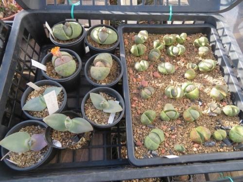 プレイオスピロス・帝玉、親株左、寒波明け直ぐ開花しています。右は実生苗、2021.01.10