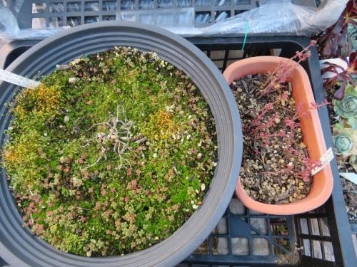 ピレア・グロボーサ(Pilea serpyllacea globosa)、凍ったかもと思いましたが、蓋のおかげで大丈夫2021.01.10