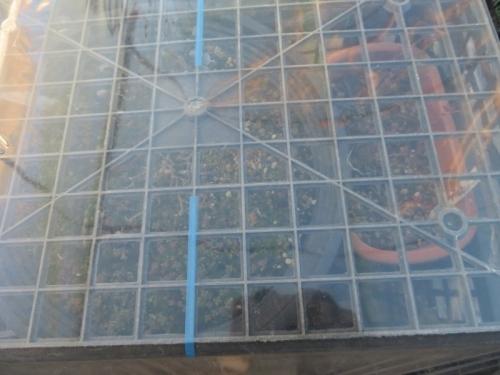 防寒育苗ビニール蓋、ピレア・グロボーサ(Pilea serpyllacea globosa)、凍ったかもと思いましたが、蓋のおかげで大丈夫2021.01.10