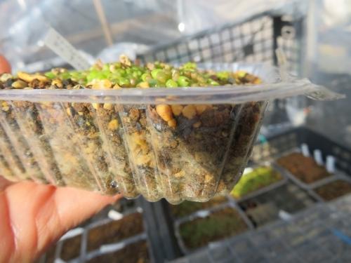 リトープス実生苗、まだ凍るといけないので半分湿るくらいしか水やりしていません。2021.01.14