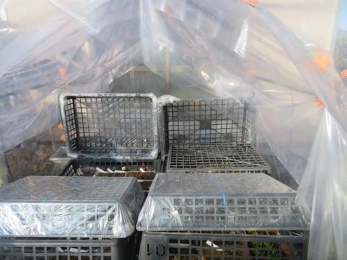 メセン、サボテン実生苗置き場はこんな感じ~ビニール育苗バット蓋で保温しています。2021.01.14