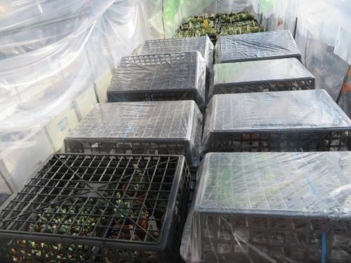メセン実生苗はふたを開けた中に育苗バットを置いて痛風よくひどく高温にならないようにしています。2021.01.14