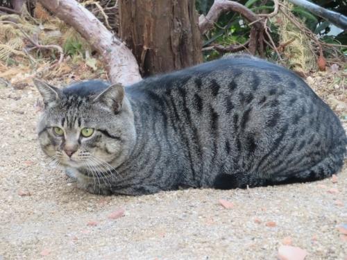 お顔がラージサイズ(幅15㎝くらいありそう)のキジドラ猫さん(鈴付けてる)うちの庭を練り歩きマーキングしてます。