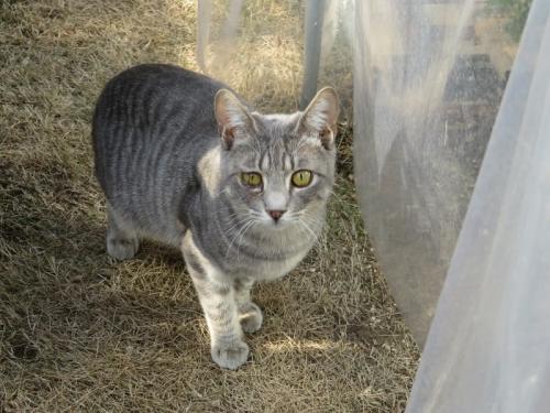 ノラ猫キジグレーちゃん(たぶん去年4月生まれ)、こんな毛並ちゃんが4~5匹ご近所にいるようです。ひぃ~2021.01.21
