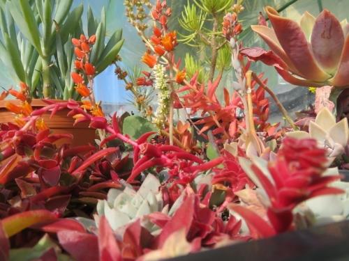多肉紅葉、クラッスラ・赤鬼城、エケベリア・銀明色の花盛り~2021.01.22