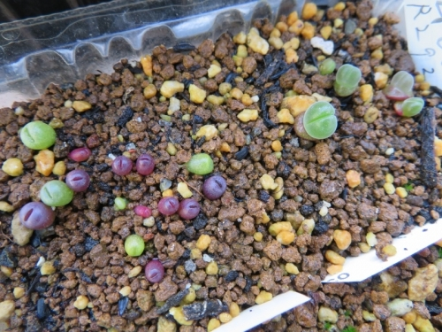 リトープス・紫李夫人、大津絵(緑)、右:ギバエウム・無比玉(Gibbaeum dispar)自家採取種子、実生2020.09.22、5か月経過~2021.01.21