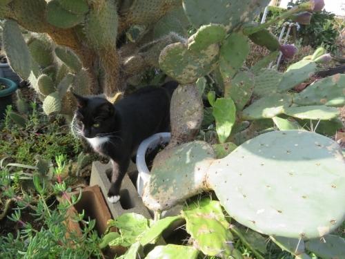 白靴下を履いた黒猫ちゃん、サボテンの隙間を歩きます♪2021.01.25