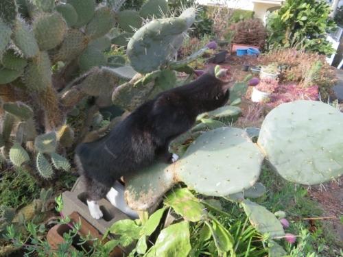 白靴下を履いた黒猫ちゃん、大丸盆団扇サボテンの上を歩きます♪2021.01.25