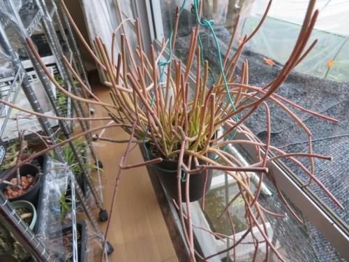 サルコステンマ・ヴィミナール(Sarcostemma viminale subsp australe)、日当たり良い室内縁側でやや赤く紅葉しています。2021.01.28