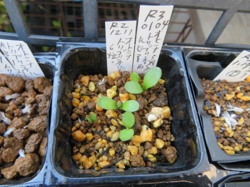 オトンナ・トリブリネルビア、自家採取種子実生苗(2020.12.11)~結構発芽してきました♪2021.01.31