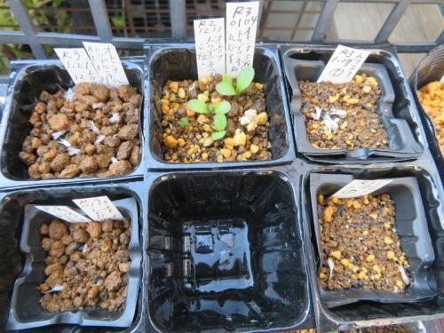 オトンナ・トリブリネルビア、レトロルサ、2品、自家採取種子実生苗(2020.12.11~2021.01.17~)順次種まきしています♪2021.01.31