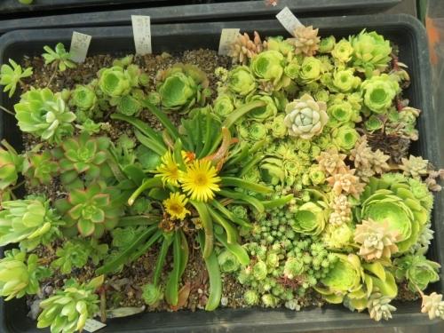 グロッチフィルム(無芳香、黄色花)このアエオニウム・明鏡などの挿し木苗にこぼれた根発芽した苗。2021.01.31