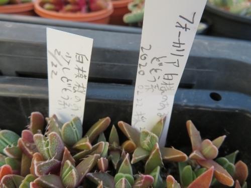 フォーカリア白点模様怒涛系、白模様(大麗波系)、自家採取種子実生苗(2020.02.22)、模様はもう少し大きく育たないとハッキリしないようです2021.02.03