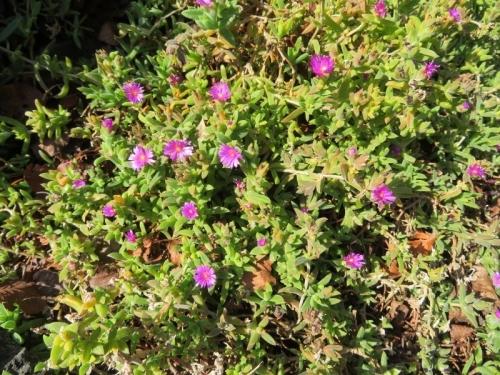 デロスペルマ・リデンブルゲンセ(Delosperma lydenbergense)?、四季咲きで一年中開花しています。角ばった短い葉に微毛が生え小さな濃紫ピンク花で豪華ではない感じです。2021.02.04