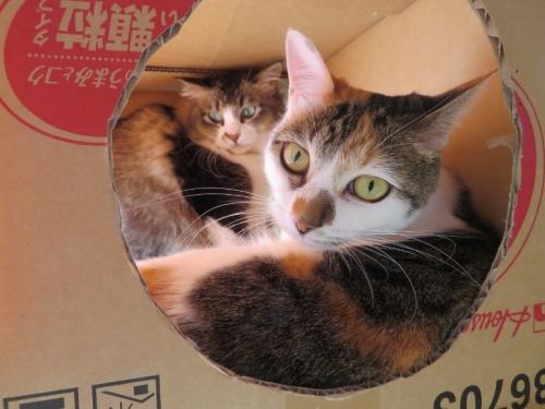 富士子ちゃんがいた箱に伊豆子ちゃんが割り込みました。一緒に寝るかと思いきや、富士子ちゃんが一歩引いて伊豆子ちゃんに譲りました。2021.02.05