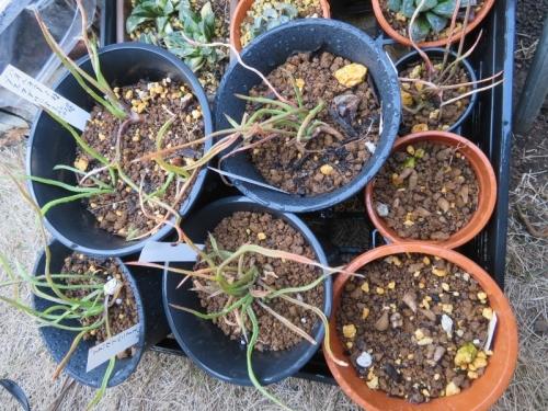 ハオルチア・ブラックブルニアエ(Haorthia blackburniae)2020.10.20株分けして根挿し木もしておきました。3カ月強経過。2021.02.05