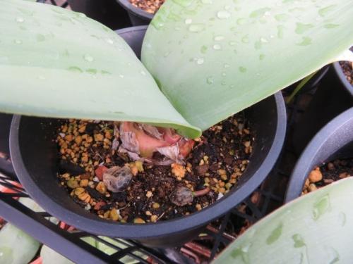 赤花マユハケオモト(落葉葉タイプ)ハエマンサス・コッキネウス、自家採取種子勝手にこぼれ発芽しています。2021.02.17