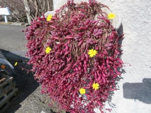 オトンナ・紫月(ルビーネックレス)紅葉しながら開花中♪2021.02.22