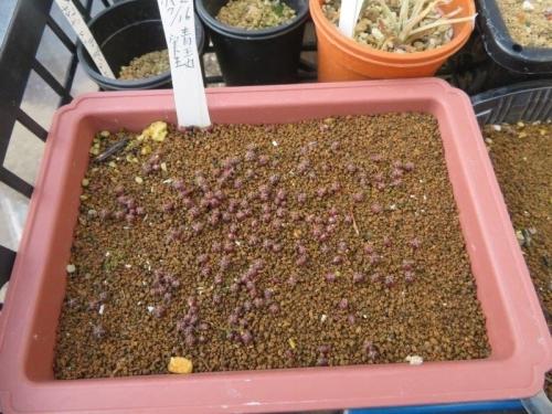 ノトカクタス・青王丸、自家採取種子実生苗2020.07.16~約7ヶ月経過