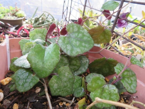 セネシオ・ミカノイデス(Senecio mikanoides)パープルバイン、葉表には銀色葉脈がキレイです。耐陰性耐寒性あり、屋外簡易ビニールハウス棚下で維持しています。2021.02.26