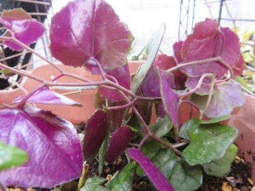 セネシオ・ミカノイデス(Senecio mikanoides)パープルバイン、葉裏は日陰でもきれいな紫色。耐陰性耐寒性あり、屋外簡易ビニールハウス棚下で維持しています。2021.02.26