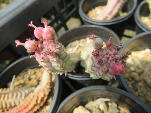 ユーフォルビア・白樺キリン、Euphorbia mammillaris f, variegata、雌花の子房が膨らみ種子ができたようです。2021.04.06