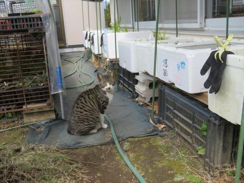 最近、首輪をして遊びに来る外猫ちゃん、どちらのお宅の猫ちゃんでしょ?大丈夫、メダカは食べていません。2021.04.16