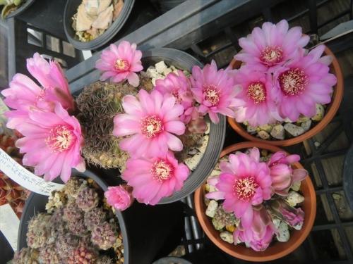 ギムノカリキウム 赤羅星丸×緋花玉 Gymnocalycium bruchii×baldianum たくさん子が吹くので、3株に分けました。それでも美しい花付き旺盛です。2021.04.16