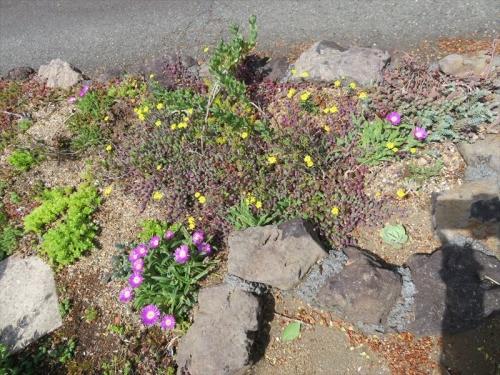 デロスペルマデロスペルマ 沙坐蘭 サザラン Delosperma sutherlandii 地植で育った苗が開花しています。2021.04.16