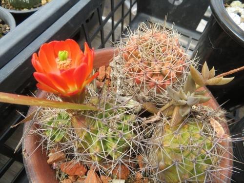 エキノケレウス 篝火 Echinocereus triglochidiatus 萎びていますが咲いています。2021.04.26
