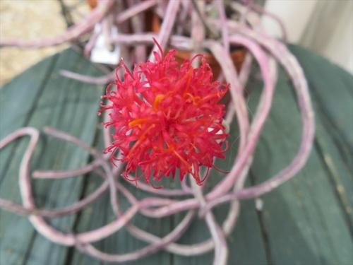 セネシオ スタペリフォルミス ミノール、くねくね~しな垂れる細目の茎先端に真っ赤な花が咲きました♪2021.04.24