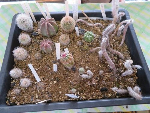 エキノケレウス実生苗2017年、珠毛柱、御旗、フィッチー、青花エビ他生き残り苗、成長不良なので、植え替えしました。2021.05.01