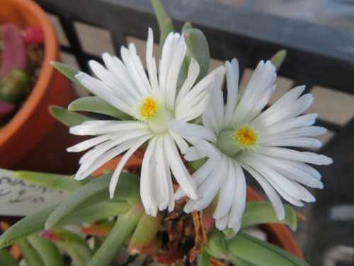 エブラクテオラ・ウイルマニアエ(Ebracteola wilmaniae)白花、真冬に開花中2021.02.18