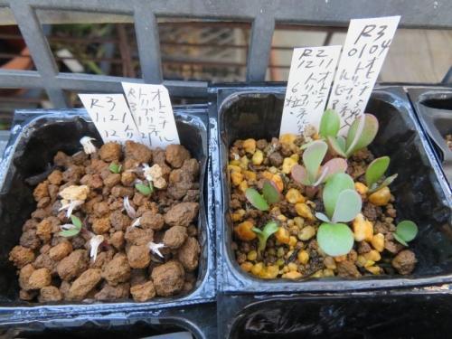 オトンナ・トリブリネルビア、自家採取種子実生苗(2020.12.11~2021.01.21)~次々発芽してきました♪2021.02.22